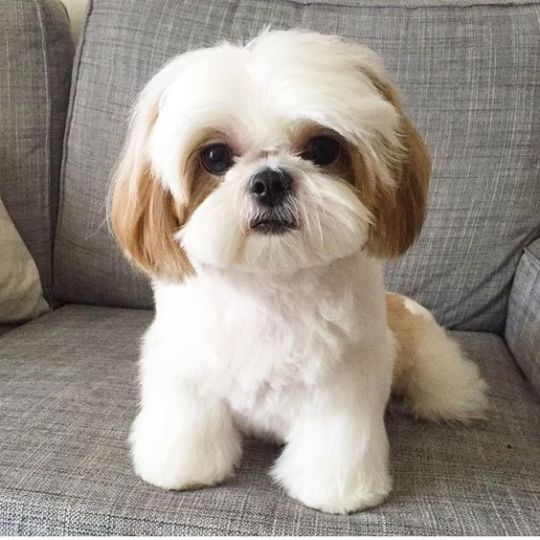 Shih Tzu History And It S Interesting Origins Cute Dogs And