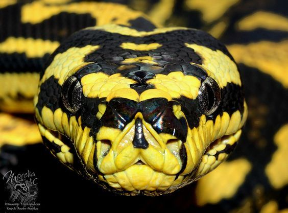 Yellow Snake With Black Spots On The Body Haustier Schlange Schlange Fotos Reptilien