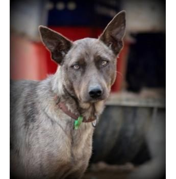 Australian Koolie Rescue Dog Rescue What A Gorgeous Pup Rescue Dogs Australian Dog Breeds Dogs