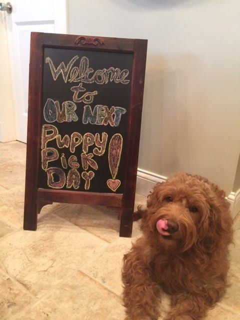 Here At Doodle Country Mini Doodles We Concentrate Solely On Mini Goldendoodles We Think That Mini Goldendoodles Ar Goldendoodle Mini Doodle Little Puppies
