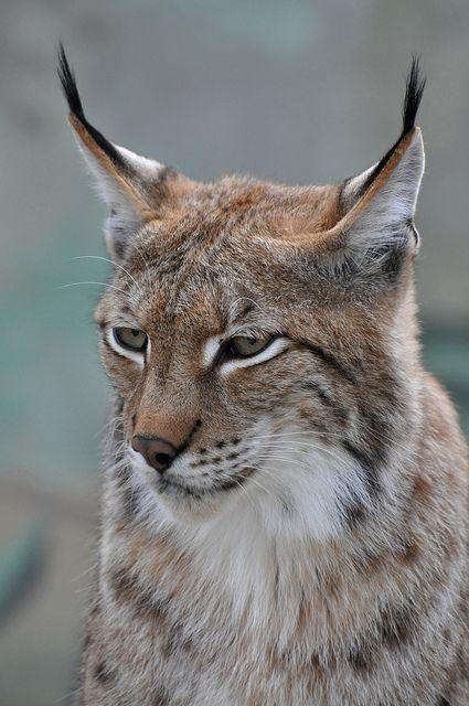 Eurasian Lynx  Photo by Truus  Zoo on Flickr