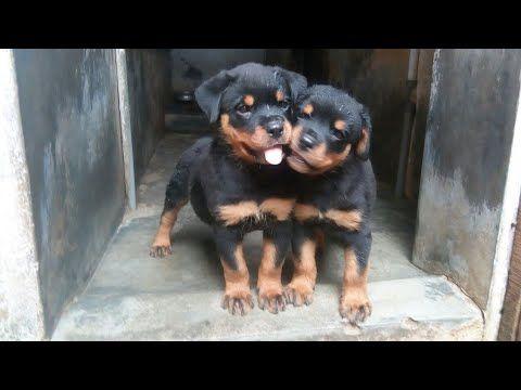 Mar 2019 Beautiful Rottweiler Puppies For Sale Healthy Well Bred