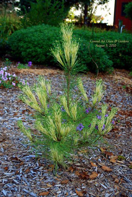 """Pinus dens """"Cesarini's Variegated"""""""