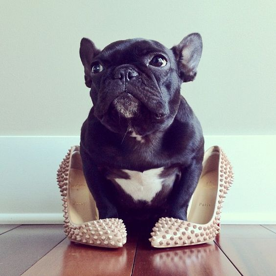 This frenchie has style #frenchbulldog
