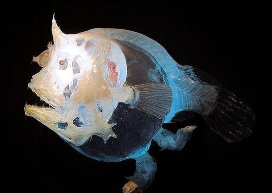 Weird fish weird fish in the deep sea xinhua english for Weird deep sea fish