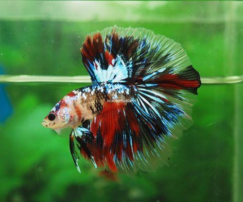 Live Fish Beauty Healthy Betta Candy Galaxy Koi Halfmoon Male Betta Betta Fish Pet Fish