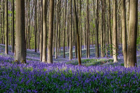 A fairytale-like carpet of wild bluebells engulfs the floor of the Hallerbos.