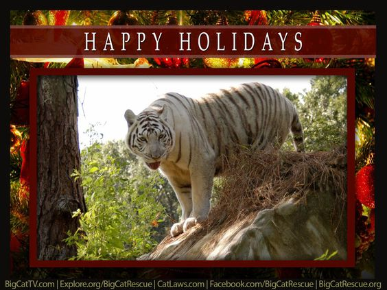 MERRY CHRISTMAS, Big Cat FriendsYOU CAN HELP big cats have a Merry Christmas, too. http://BigCatRescue.org/donate