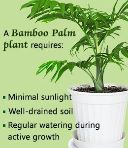 Bamboo palm plant care tips