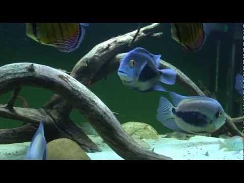 Aquarium 300x70X62cm (BxTxH) 1302Liter Tank 118x28x24 inch 343 Gallon Weitere Bewohner: Cichliden (Cichlids) Aequidens metae, Hypselecara temporalis, Geophag...