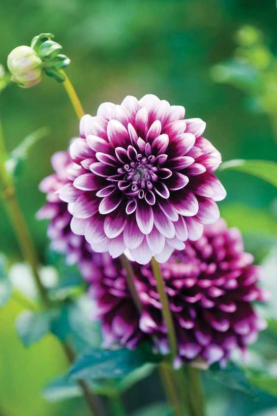 Dahlias purple dahlia and purple on pinterest for Flowers that look like dahlias