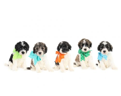 These Are F1b Medium Teddy Bear Schnoodles By Smeraglia We Have The Third Spot That Is Open For Adoption That Mean That We Have With Images Schnoodle Puppies Teddy Bear