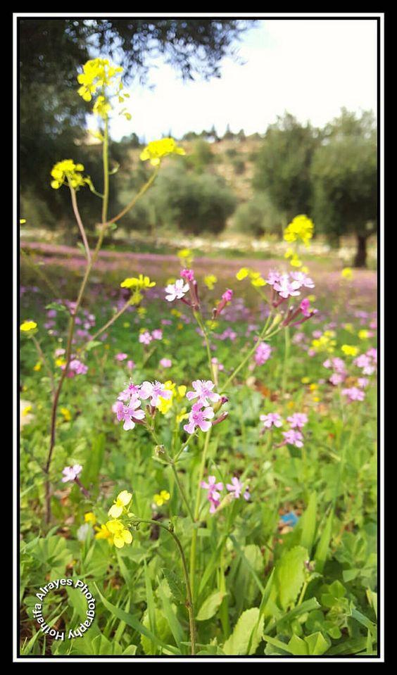 Jordan Amman Marj Alhamam Um Abhara Flower Flowers Floral Green Spring Bokeh Mobilography Galaxy Note5 Galaxy Note 5 الأردن عمان مرج الحمام أ Nature Photography Photo