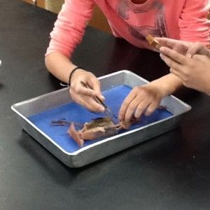 Squid Dissection: