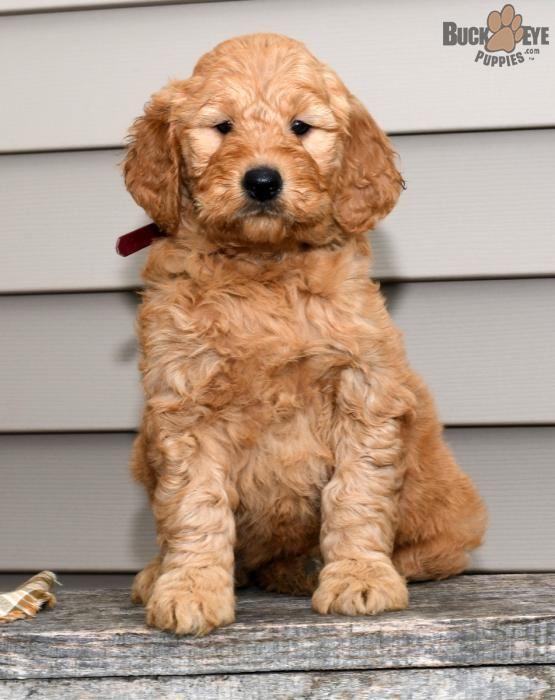 Bella Goldendoodle Puppy For Sale In Millersburg Oh Goldendoodle Puppy