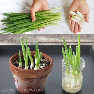 Regrow Green Onions Scallions From Kitchen Scraps 2 Ways In 2020 Regrow Green Onions Regrow Vegetables Herb Garden In Kitchen