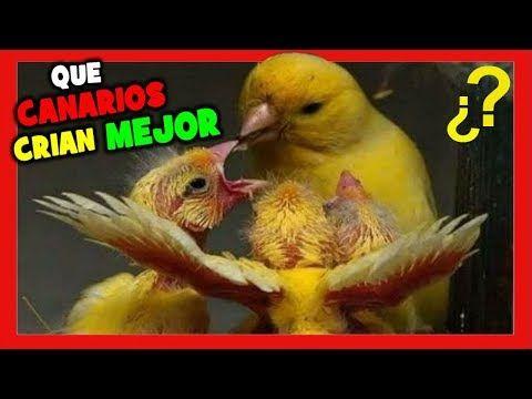 Que Canarios Son Mas Faciles De Criar Trucos Para Criar Canarios Cria De Canarios Youtube Canarios Canario Ave Crias