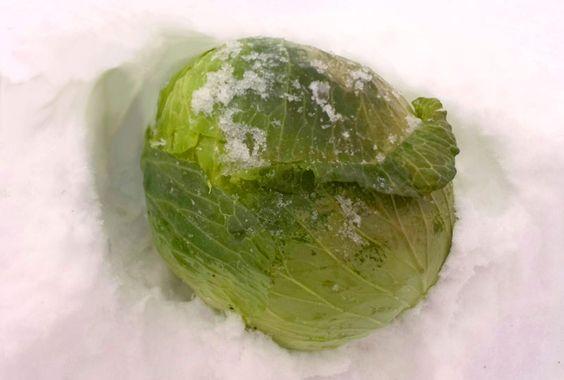 「雪中キャベツ(甘藍)」 長野県北安曇郡小谷村伊折地区の特産品です。 2mほど積もった雪の下に、根を付けたままのキャベツが眠っています。 手動の除雪機やスコップを使い雪を掘り、ひとつひとつ手作業で収穫します。  雪の中は、0℃ほどに保たれていますので、凍りつくことはありません。 自身のでんぷん質を糖質に変えながら、雪の中で生き続けるので、とても甘みの強いキャベツです。  そのおいしさは生で味わっていただくのが一番ですが、蒸し料理や天ぷらもオススメです。「ゆきわりキャベツ」「雪下キャベツ」のブランドとしても販売されています。