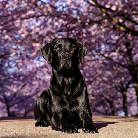 Black shiny coat Labrador at the park