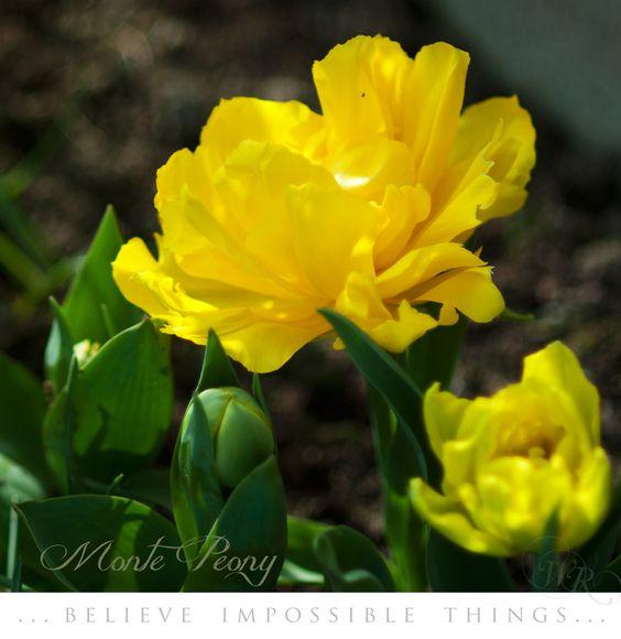 """Tulip """"Monte Peony"""""""
