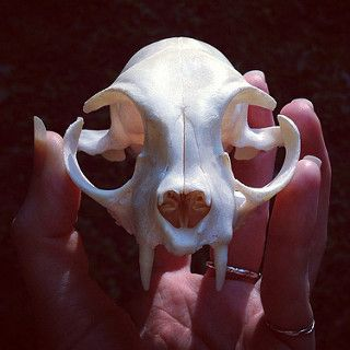 BONELUST BONE PROCESSING PROGRESS: Cat Skull finished (mandible still in maceration). Note, cat only had incisor roots remaining. Front view.