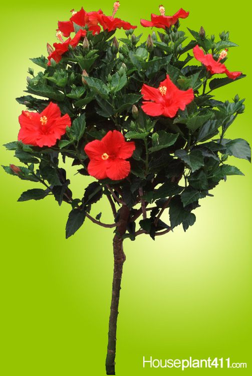 Grow A Hibiscus Tree Indoors When The Weather Is Cold And Have A