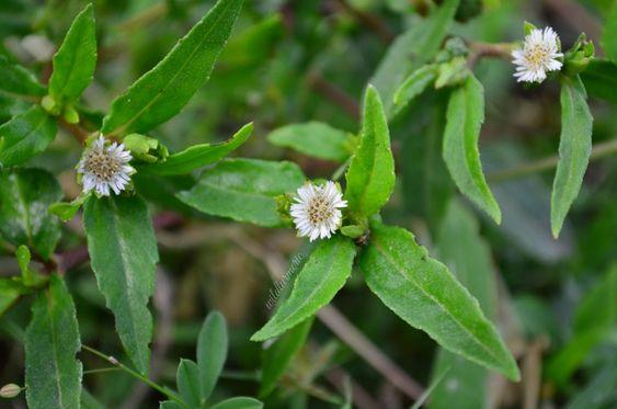 Bhringraj Plant Medicinal Uses In 2020 Skin Health Oil For Hair Loss Bhringraj Hair Oil