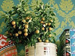Indoor Citrus Plants