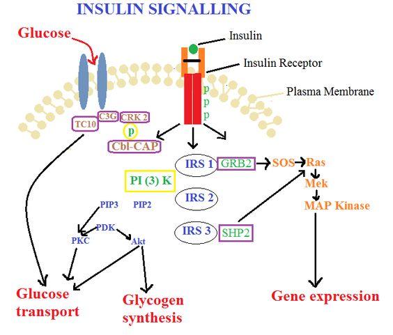 Insulin Signalling