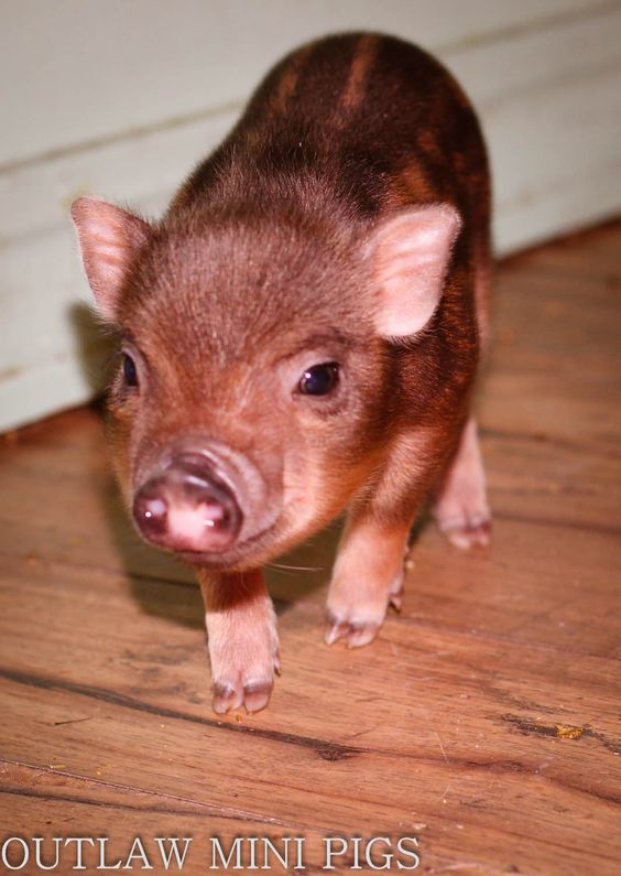 Jager says hello. http://www.outlawminipigs.com/