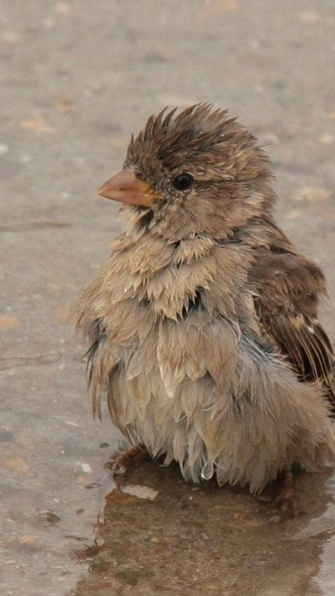 480x854 Wallpaper feathers, wet, water, sparrow, puddle