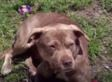 Hero Pit Bull Dies After Saving Her Family From An Attacker
