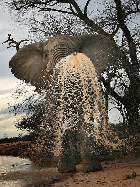 An elephant empties its trunk in Kenya    John Hunt