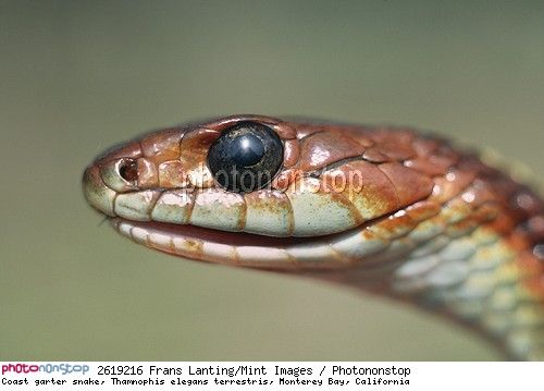 Coast garter snake, Thamnophis elegans terrestris, Monterey Bay, California