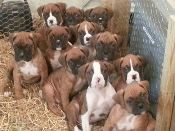 """Our precious baby boxer puppies.  7 weeks old.  """"Family Portrait"""""""