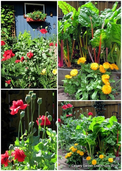 daylilies, poppies, calendula and swiss chard in the butterfly potager