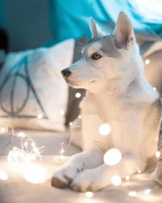 3 Tumblr Siberian Husky Dog Husky Puppy Cute Husky