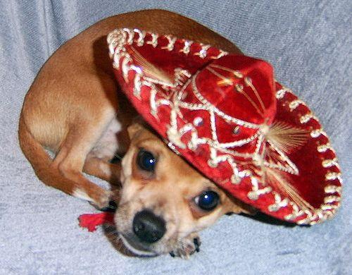 Mexican Chihuahua Animal Pics Pinterest Chihuahuas