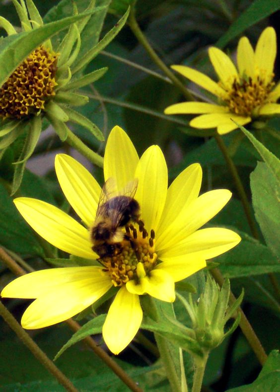Bee on perennial Small-headed Sunflower (Helianthus Microcephalus), Photo by Kathy Sturr