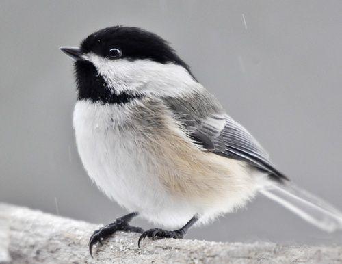 M sange t te noire black capped chickadee petit oiseau for Oiseau tete noire et blanche