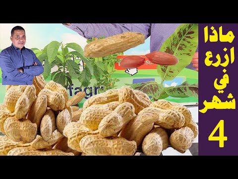 زراعة الفول السوداني افضل طريقة لزراعة الفول السوداني في المنزل قناة عالم الزراعة Youtube Peanut Food