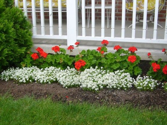 Geraniums and Alyssum by the porch#Pin By:Pinterest++ for iPad#