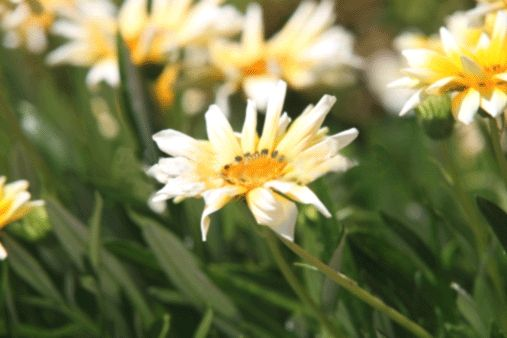 #Daisies in a field...lovely daisies, yellow daisies,