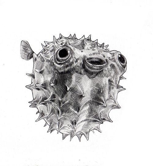 Pufferfish fugu illustration drawing for Puffer fish art