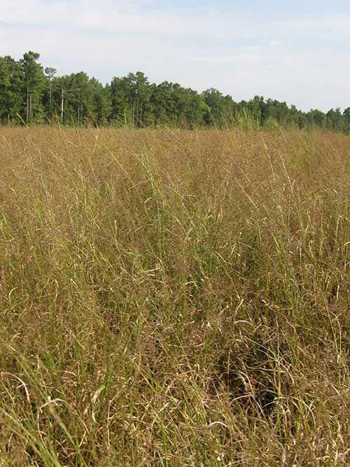 Beaked Panicgrass Fl Ecotype Ernst Conservation Seeds Coastal Plain Wetland Grass