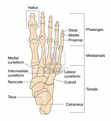 Drawing to show the bones of the right foot, dorsal or top ...