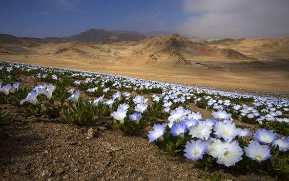 El milagro del Desierto Florido | Emol Fotos