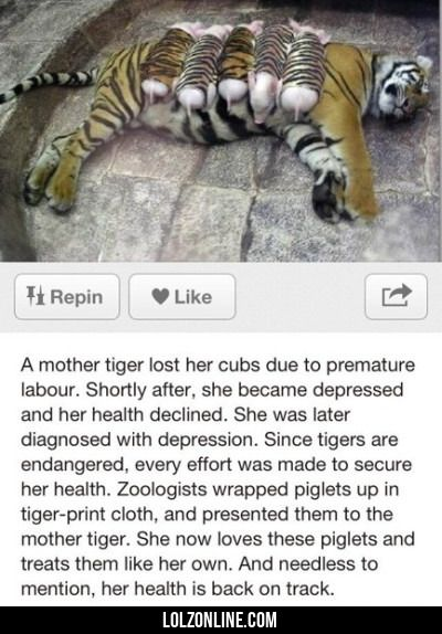 A Mother Tiger Lost Her Cups Due To A Premature..