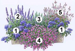 """Blumenkasten zum Nachpflanzen: 1 Vanilleblume """"Nagano"""" (2 Stück), die üppige Blütenschirme bildet. 2 Balkonsalbei """"Farina Violet"""" blüht pausenlos und zieht Bienen und Schmetterlinge an. 3Rosmarin """"Abraxas"""" passt mit seiner würzigen Duftnote wunderbar zum süßen Vanillearoma des Arrangements. Im vorderen Bereich bildet das 4 Zauberglöckchen """"Calita Purple Star"""" einen tollen Blickfang Den Farbton greift die 5 Prachtkerze """"Gambit Rose"""" auf."""