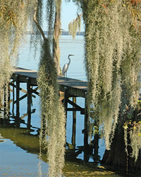 egret Spanish moss, Lake Verret, Louisiana. south of Baton Rouge: